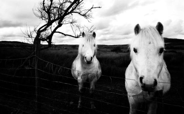 horses,black and white,animals