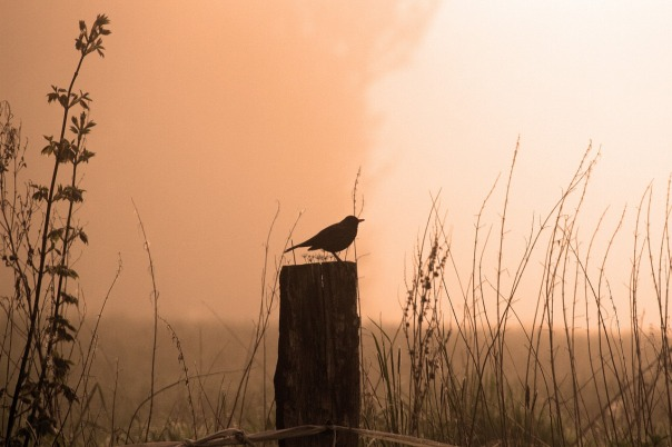 bird,fence